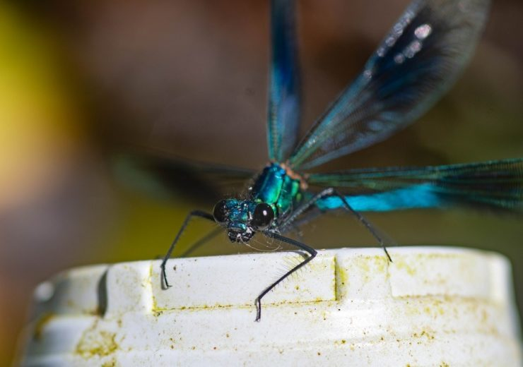 Banded demoiselle in the River Stour