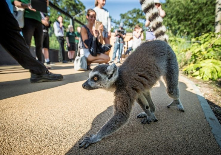 Lemur with guests at Marwell Zoo (Credit Marwell Wildlife)